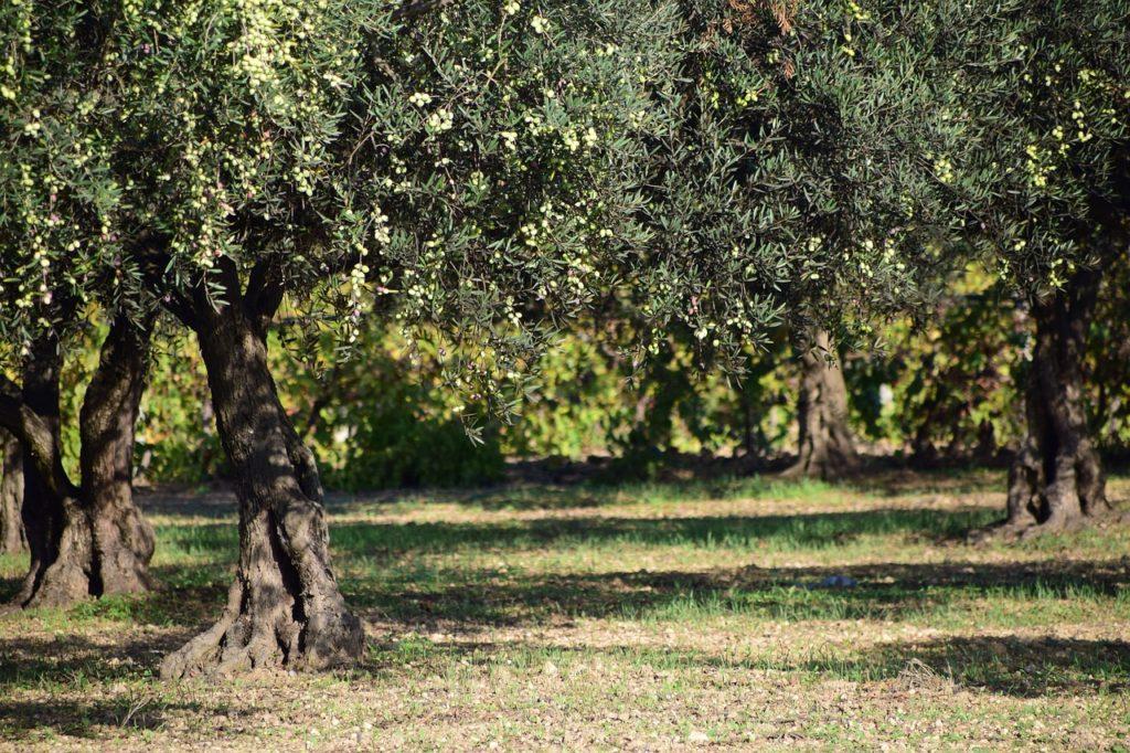 olives-1752199_1280